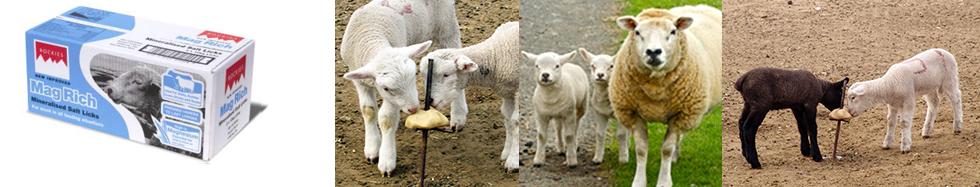 SC Sheep